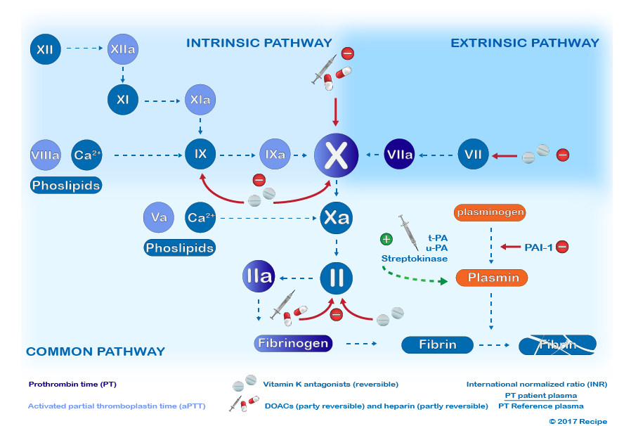 /Intrinsic%20and%20extrinsic%20pathway